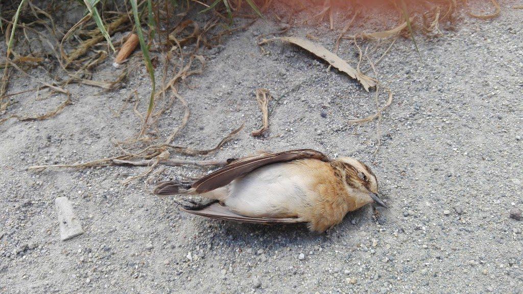 uccelli migratori passeri bracconaggio ponza campo antibracconaggio l.a.c.